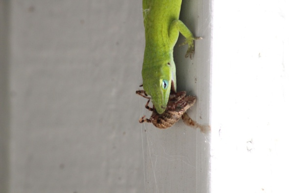 Gecko Eats Spider
