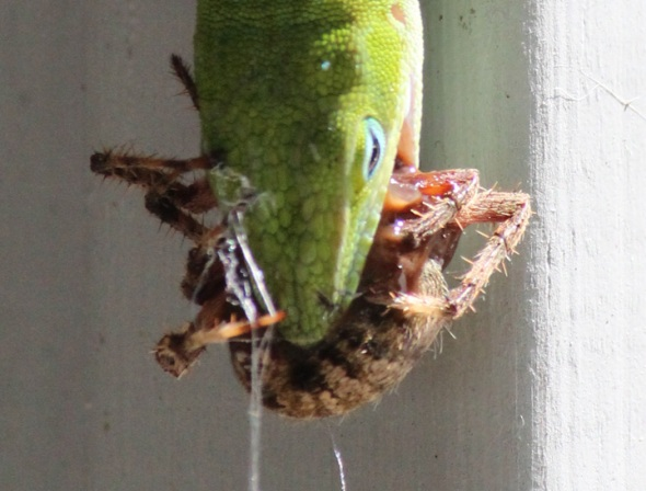 Gecko Really Eats Spider